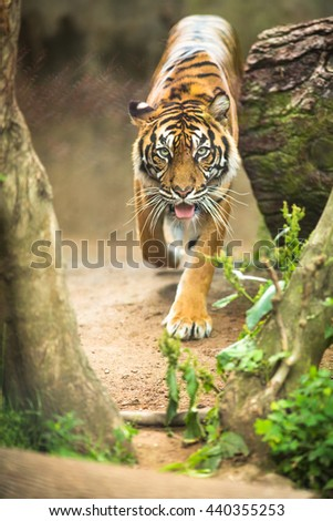 Closeup of a Siberian tiger also know as Amur tiger (Panthera tigris altaica), the largest living cat - stock photo