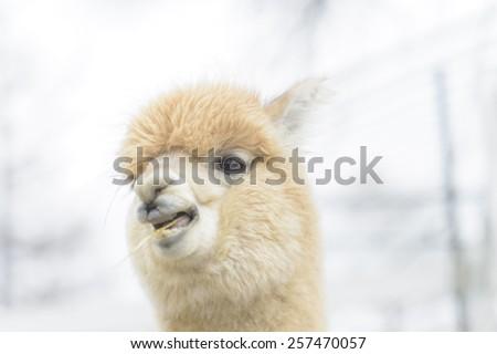 Closeup of a smily alpaca - stock photo