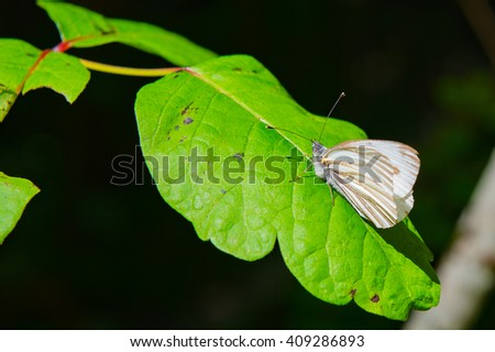 Closeup of a Solitary Common White-Winged Big Sur Butterfly Perched on a Leaf - stock photo