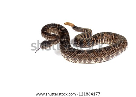 Closeup of a Southern Pacific Rattlesnake in front of a white background. On white. - stock photo