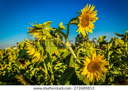 Closeup of a sunflower Helianthus annuus in a field of sunflowers in a sunny summer day in Italy: yellow petals, orange and yellow stame with dark yellow pistil. White spotted Light green curly leaves - stock photo