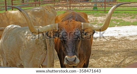 Closeup of a Texas Longhorn in a corral - stock photo