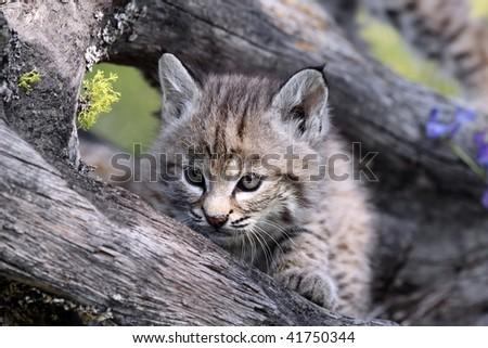 Closeup of a tiny Canadian Lynx Kitten. - stock photo