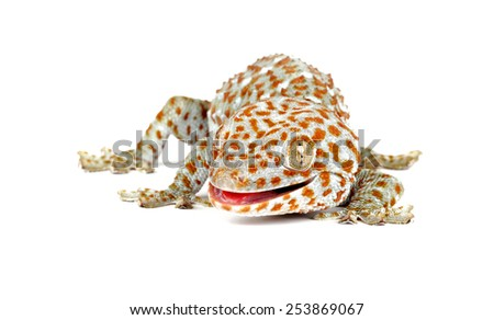 Closeup of a Tokay Gecko (Gecko gecko) on  white background. - stock photo