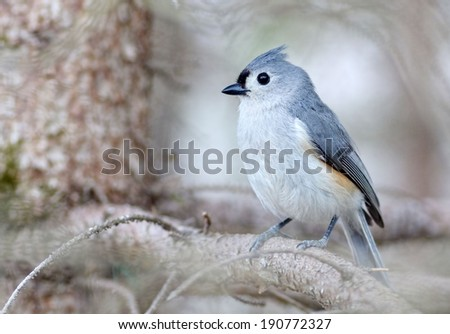 Closeup of a tufted titmouse sitting in a pine tree - stock photo
