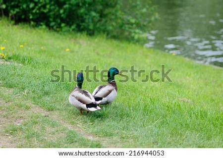 Closeup of a two ducks (drakes), standing on a grassy hill near the water. - stock photo