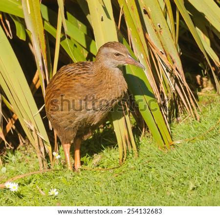closeup of a Weka, a flightless bird indigenous to New Zealand - stock photo