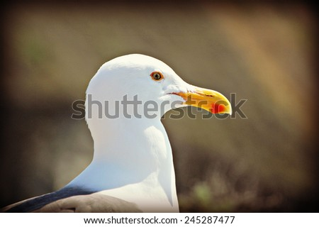 Closeup of a Western gull - stock photo