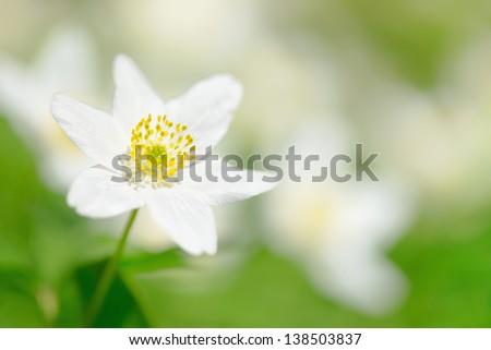 Closeup of a Wood Anemone (Anemone Nemorosa) - stock photo