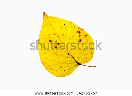 Closeup of a  Yellow Autumn Leaf - Isolated on White - stock photo