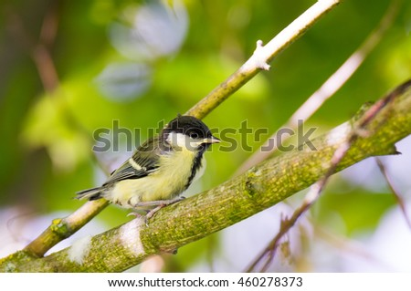 Closeup of a young great tit bird sitting on a tree branch - stock photo