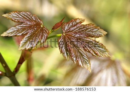 Closeup of a young shiny maple leaves - stock photo