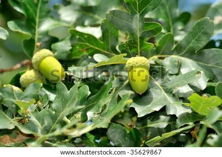 closeup of acorns in the wood - stock photo