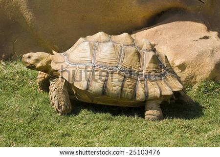Closeup of African Spurred Tortoise (Geochelone sulcata) - stock photo