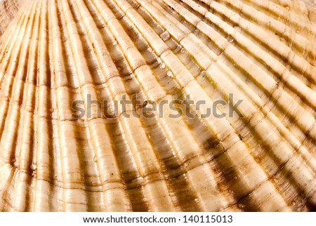 Closeup of amazing detail scallop texture. - stock photo