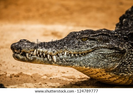Closeup of an adult male caiman ( HDR image ) - stock photo