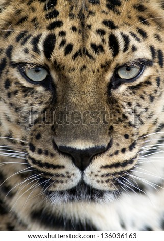 closeup of an Amur leopard - stock photo