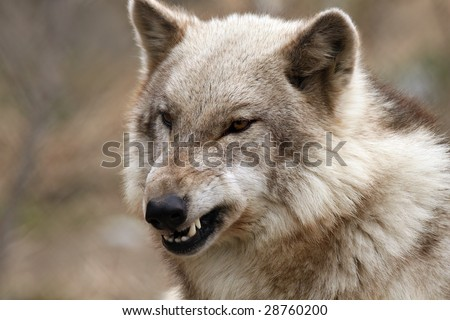 Closeup of an angry Timber Wolf against a beautiful blurred background. - stock photo