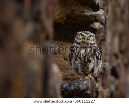 Closeup of an Eastern Screech Owl perching on a stone wall. - stock photo