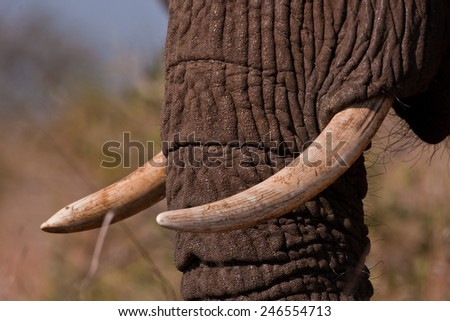 Closeup of an Elephants Tusks at the Kruger National Park in South Africa - stock photo