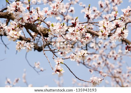 closeup of apricot blossoms against blue sky - stock photo
