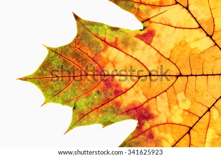 Closeup of Autumn Leaf - Isolated on White - stock photo