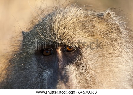 Closeup of baboon staring early in the morning - stock photo