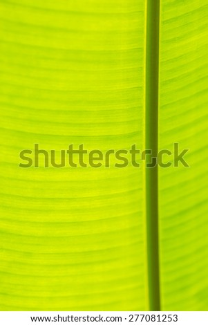 closeup of banana leaf texture, green and fresh background - stock photo