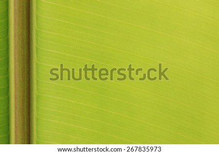 Closeup of banana leaf texture, green and fresh, in a park  - stock photo