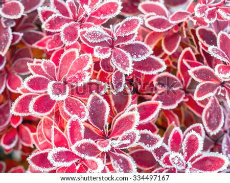 Closeup of barberry leaves covered with morning frost - stock photo