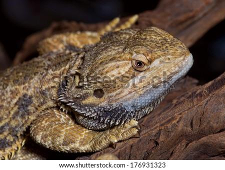 Closeup of bearded dragon lizard. - stock photo