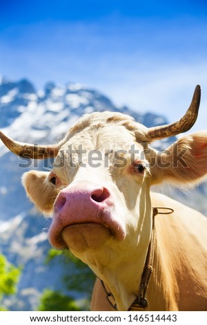 Closeup of beautiful brown cow's snout with horns on the field looking at camera - stock photo