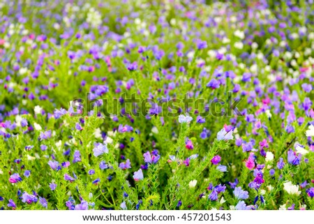 Closeup of beautiful butterfly-like flowers on hairy plants and in very varied colors in a field of a specialized Dutch seed grower. It's mid-summer period now. - stock photo