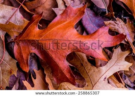 Closeup of Beautiful Intricate Fall Foliage.  A single leaf on a bed of leaves. - stock photo