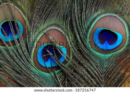 Closeup of beautiful peacock feathers - stock photo