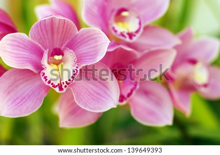 Closeup of  beautiful pink and yellow orchids over green leafs - stock photo