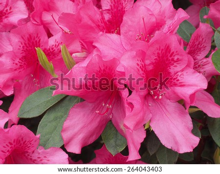 Closeup of Beautiful Pink Azaleas in Springtime - stock photo