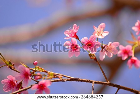 Closeup of beautiful pink flowers in Thailand. (Cherry blossom) - stock photo