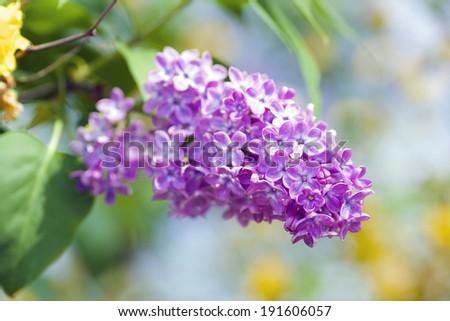 Closeup of beautiful violet Lilac at full bloom. Selective Focus.  - stock photo