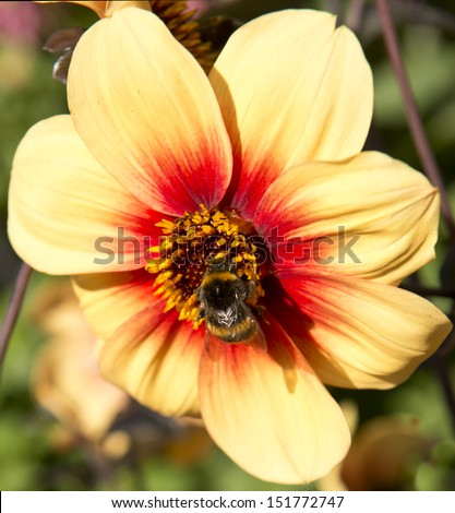 closeup of bee on flower - stock photo