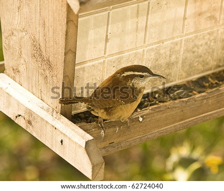 Closeup of bird (Wren) sitting on bird feeder while watching carefully. - stock photo