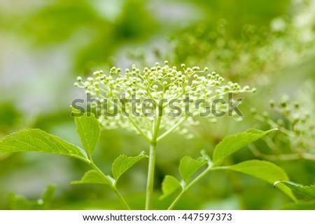 Closeup of Black Elder Flower in Spring - stock photo