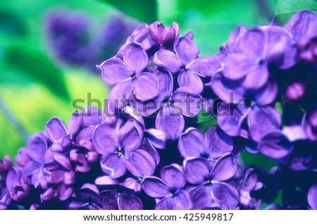 Closeup of blooming lilac flowers. Selective focus at the central flowers, pastel and soft filter processing - stock photo