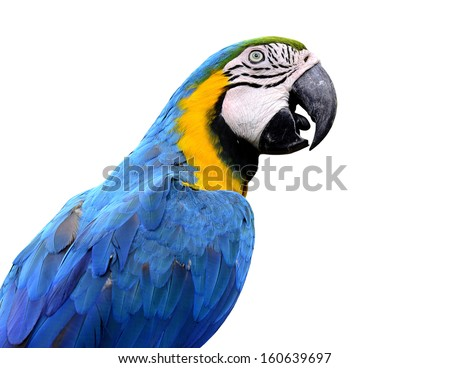 Closeup of blue and gold macaw bird isolated on white background, lovely parrot - stock photo
