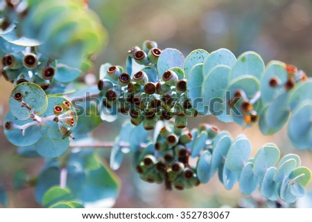 Closeup of  Book-leaf mallee (Eucalyptus krueseana) plant - stock photo