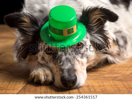 Closeup of Border collie Australian shepherd dog wearing green Irish saint patrick patty day hat looking at camera lying on wooden floor waiting watching ready to celebrate and party - stock photo