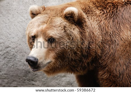 Closeup of brown bear head and shoulders. - stock photo