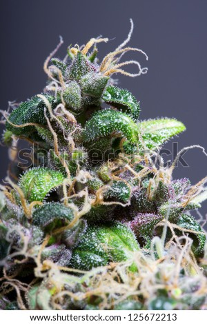 Closeup Of Cannabis Plant - stock photo