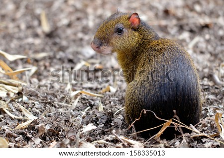 Closeup of central American Agouti (Dasyprocta punctata) back view sitting on ground - stock photo
