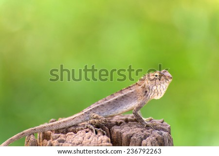 Closeup of Changeable lizard on tree. - stock photo